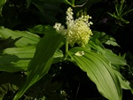 Skyggeblomst (Smilacina racemosa)